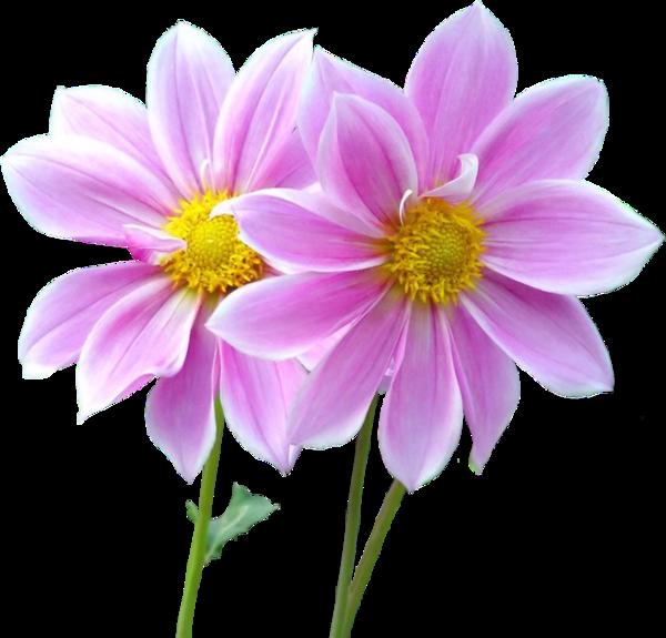 tube fleurs roses - .